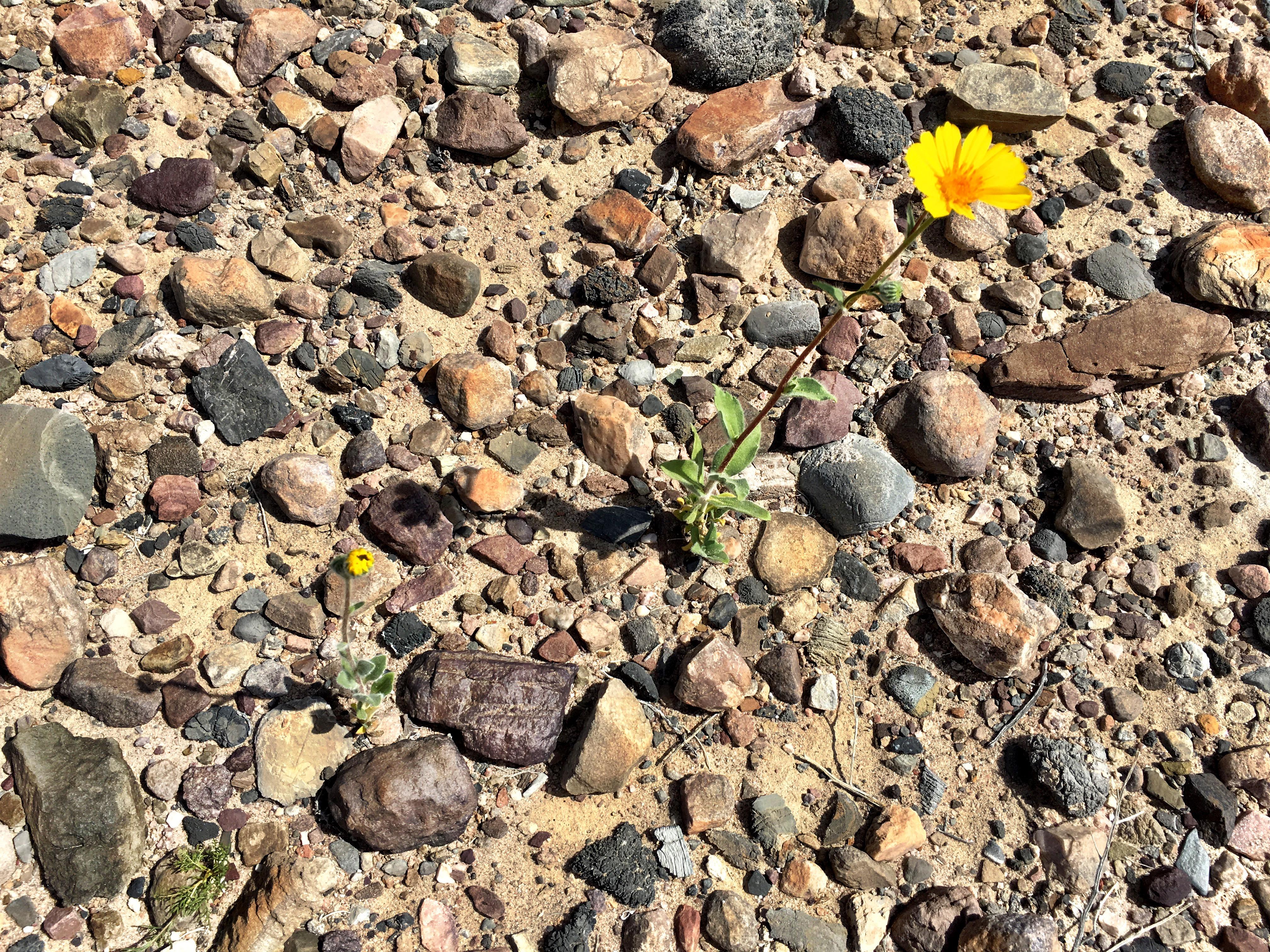 desert gold flower